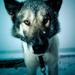 Muzzle dog with a large black wet nose. Close. Shallow depth of — Stock Photo #62269193