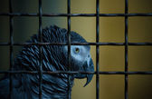 Jaco parrot in a cage. Toned — Stock Photo