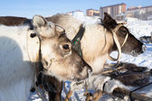 Team of reindeer on the background of town. Yamal — Foto de Stock