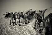Team of reindeer in frosty winter morning. Yamal. Toned — Foto de Stock