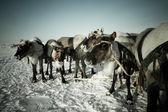 凍るような冬の朝にトナカイのチーム。ヤマル。トーン — ストック写真