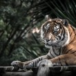 Amur tiger lying on a platform of planks. Toned — Stock Photo #62711145