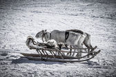 Dog on a reindeer sleigh — Stock Photo
