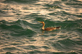 Cormorant is diving in choppy water. Shallow depth of field. Ton — Stock Photo