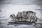 Dog on a reindeer sleigh — Stock Photo
