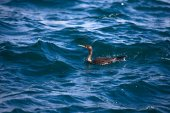 Cormorant is diving in choppy water. Shallow depth of field — Stock Photo