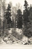 Snowy forest with birch felled by wind — Stockfoto