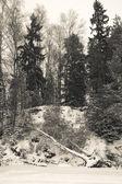 Snowy forest with birch felled by wind — Foto de Stock
