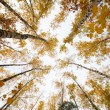 Trees with yellow leaves against the sky. Bottom view. Autumn — Stock Photo #67958711