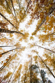 Trees with yellow leaves against the sky. Bottom view. Autumn — Stock Photo