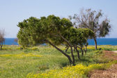 Trees in the meadow with yellow flowers. In the background sea a — Stockfoto