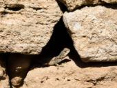 Agama sitting in a crevice of the stone fence — Stock Photo