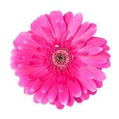 Fiore rosa gerber — Foto Stock