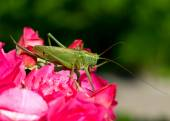 Katydid Tettigonia cantans — Stock Photo
