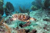 Hawksbill Sea turtle 3 — Fotografia Stock