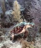 Hawksbill Sea turtle 4 — Stockfoto