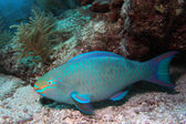 Parrotfish 2 — Stock Photo