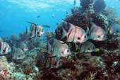 Spadefish on Molasses Reef — 图库照片