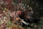 Invasiva lionfish, pterois miles 2 — Stockfoto