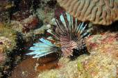 Invasive Lionfish, Pterois Miles 3 — Stockfoto