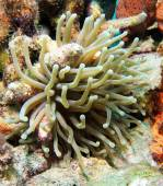 Giant Carribean Anemone — Fotografia Stock