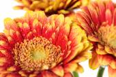 Background of flowers gerbera with dew drops — Stock Photo