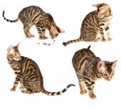 Set of kitten breed toyger  — Stock Photo
