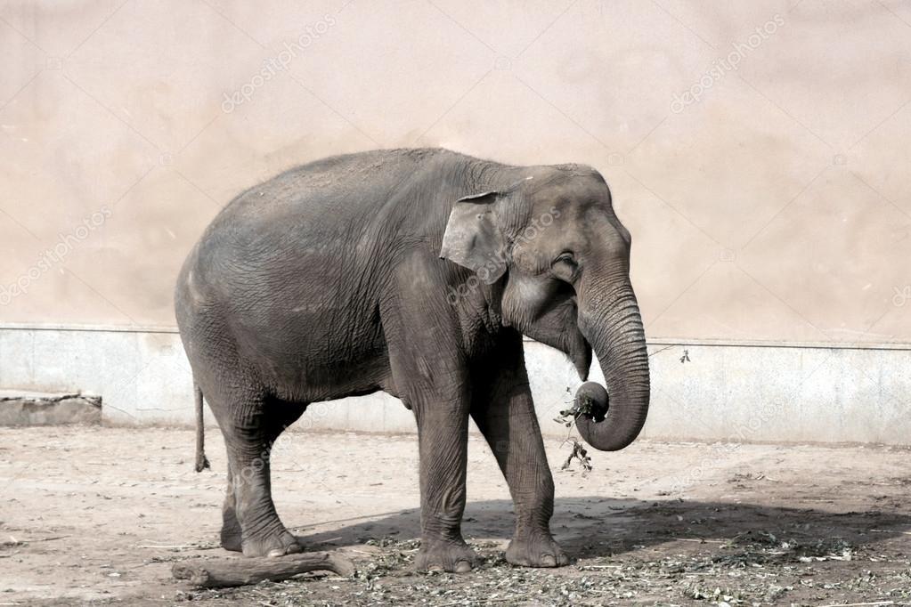 动物园里的大象吃草