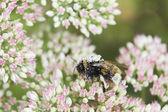 Pollen Covered Bee On Sedum Flower Head — Stock Photo
