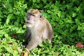 A monkey at Koh Lanta National Park, Krabi — Photo