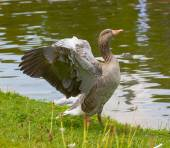 Greylag goose spreading wings — Stock Photo