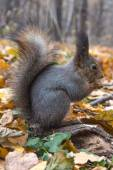 Eurasian red squirrel  — Stock Photo