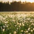 Dandelion field at sunset — Stock Photo #58404067