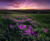 Violet flowers at the hillside at sunrise — Stock Photo