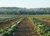 Cucumber plantation — Stock Photo