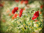 Poppies and daisy flowers — Foto de Stock