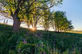 Sunrise in oak grove. Summertime — Stock Photo