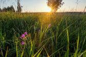 Sunrise field. Summertime — Stock Photo
