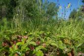 Wild strawberries in a field — Stockfoto