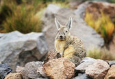 Viscacha — Stock Photo