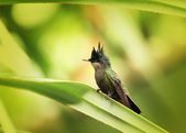 Antillean Crested Hummingbird — Stock Photo