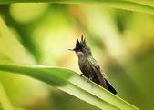 Antillean Crested Hummingbird — Stock Photo