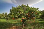 Oranges of Sicily on the tree — Stock Photo