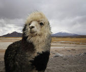 Alpaca at the Chile altiplano — Stock Photo