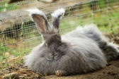 Angora rabbit resting — Stock Photo