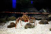 Mediterranean spiny lobster  — Stock Photo
