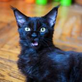 Maine Coon kitten mewing and looking at camera — Stock Photo