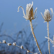 Frosty thistles — Foto Stock #60853627