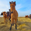 Icelandic horses — Stock Photo #65168089