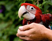 Colorful parrot sitting on human hand — Stock Photo